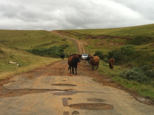 Potholes and cows on the road to Injisuthi.